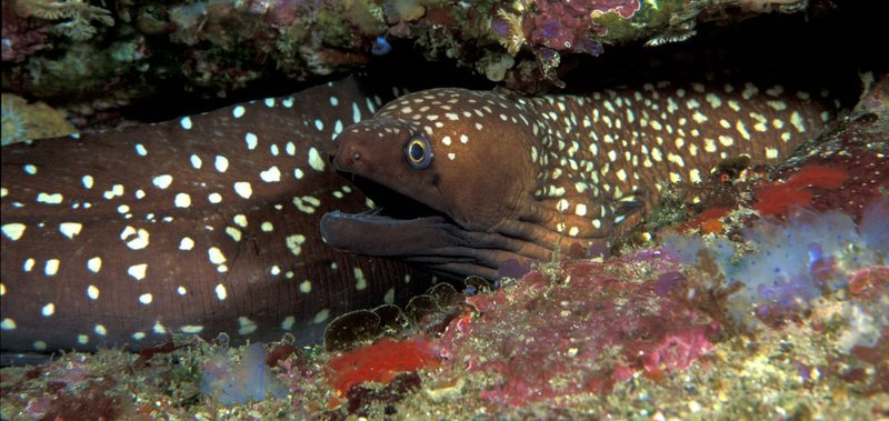 Australian Mottled Moray Eel (Gymnothorax prionodon) - Wiki; DISPLAY FULL IMAGE.