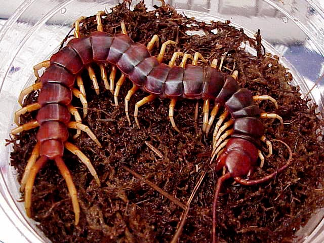 Amazonian Giant Centipede (Scolopendra gigantea) - Wiki; Image ONLY