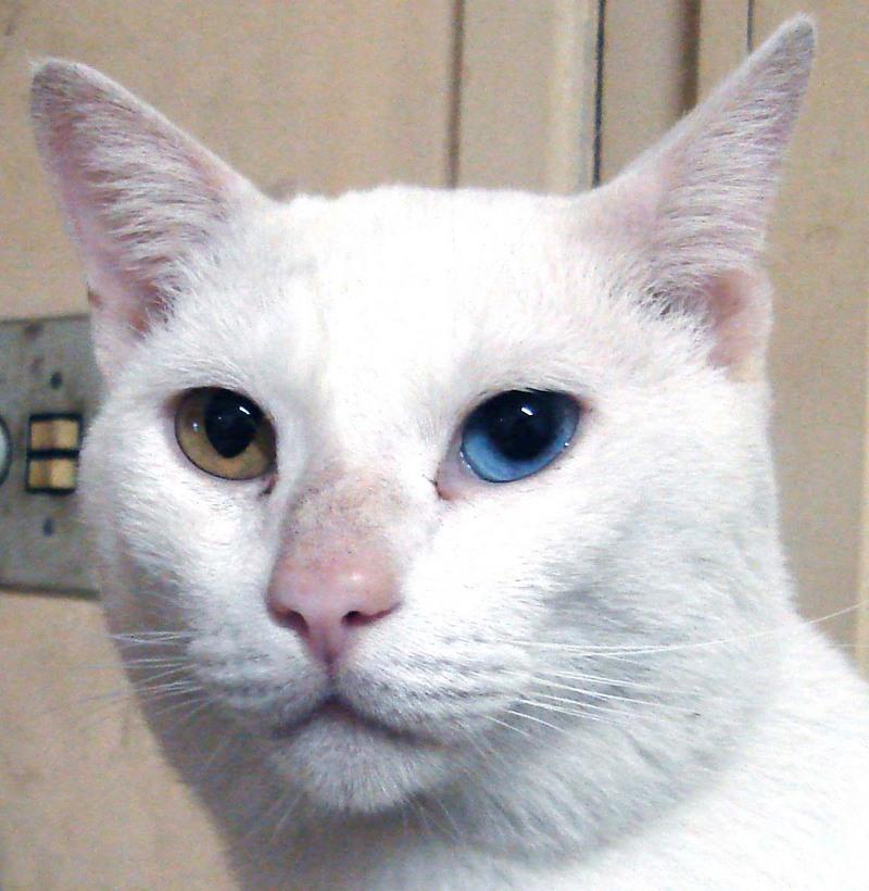 oddeyed cat wiki display full image