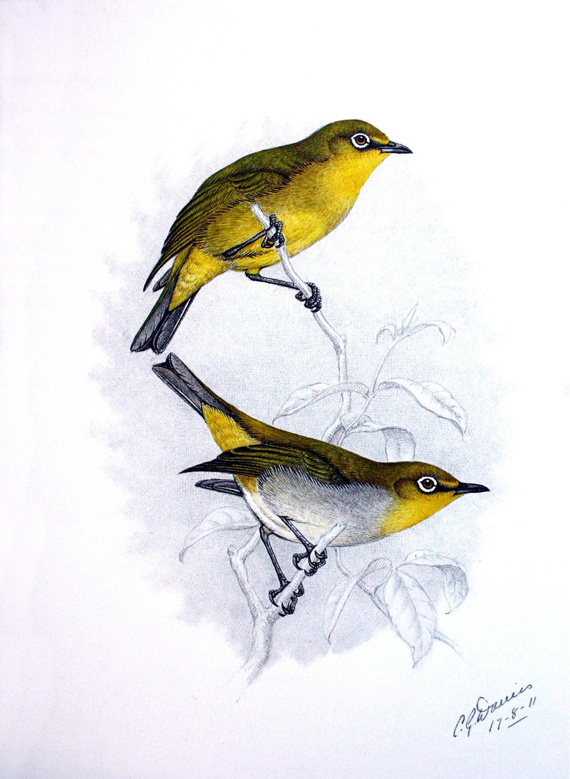 Cape White-eye (Zosterops pallidus) - Wiki; DISPLAY FULL IMAGE.