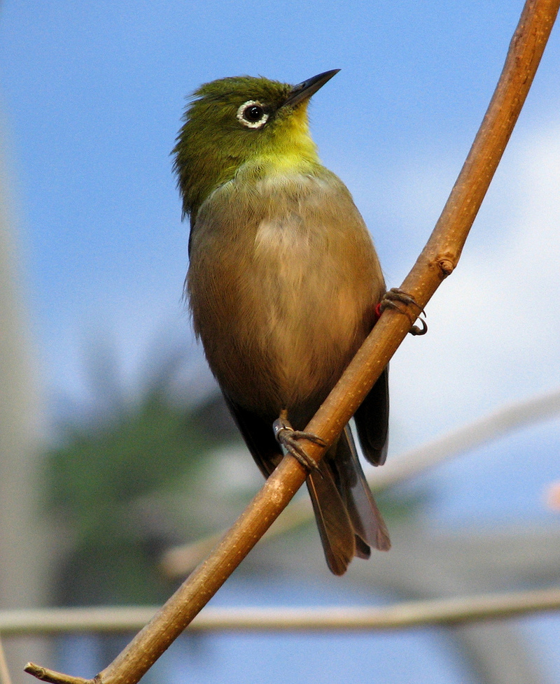 Japanese White-eye (Zosterops japonicus) - Wiki; DISPLAY FULL IMAGE.