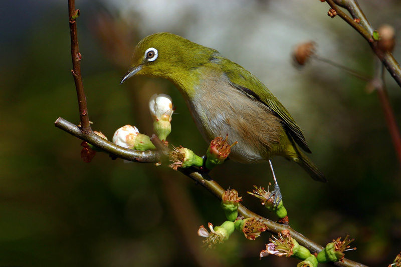 Japanese White-eye (Zosterops japonicus); Image ONLY