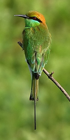 Little Green Bee-eater (Merops orientalis) - Wiki; Image ONLY