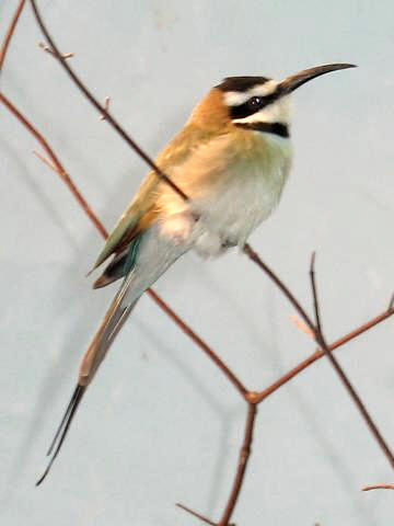 White-throated Bee-eater (Merops albicollis) - Wiki; Image ONLY
