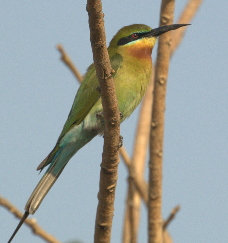 Blue-tailed Bee-eater (Merops philippinus) - Wiki; DISPLAY FULL IMAGE.