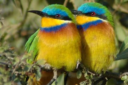Blue-breasted Bee-eater (Merops variegatus) - Wiki; Image ONLY