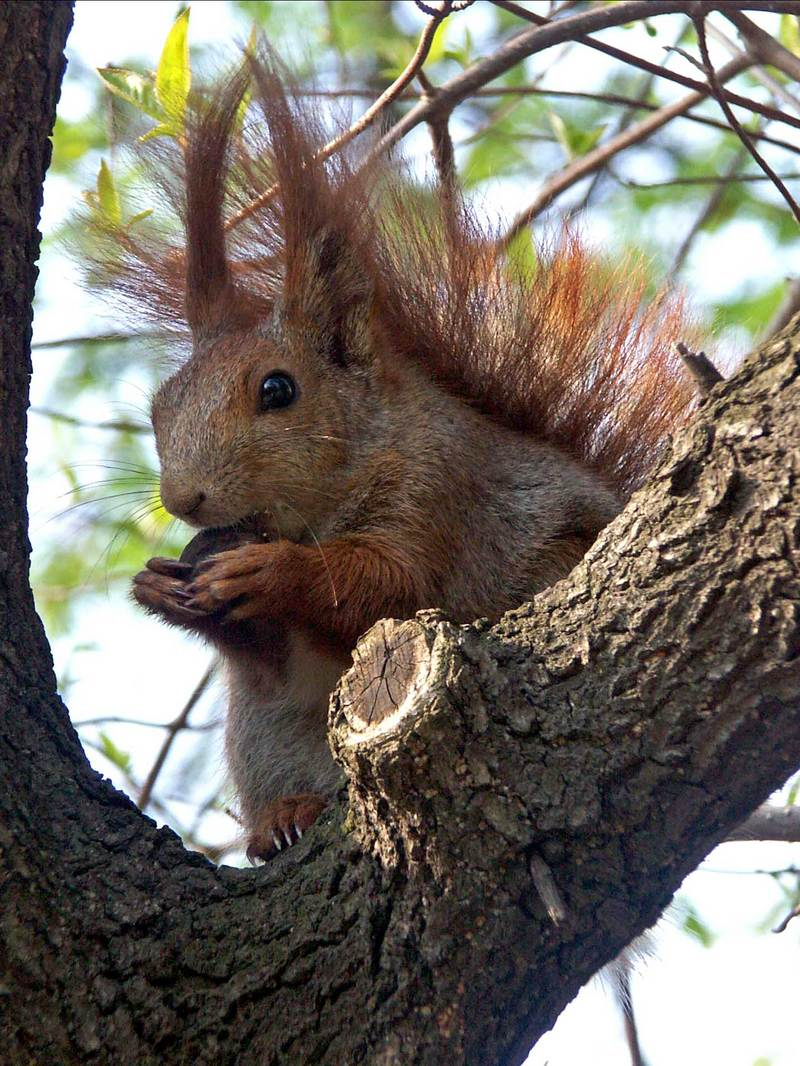 Eurasian Red Squirrel (Sciurus vulgaris) - Wiki; DISPLAY FULL IMAGE.