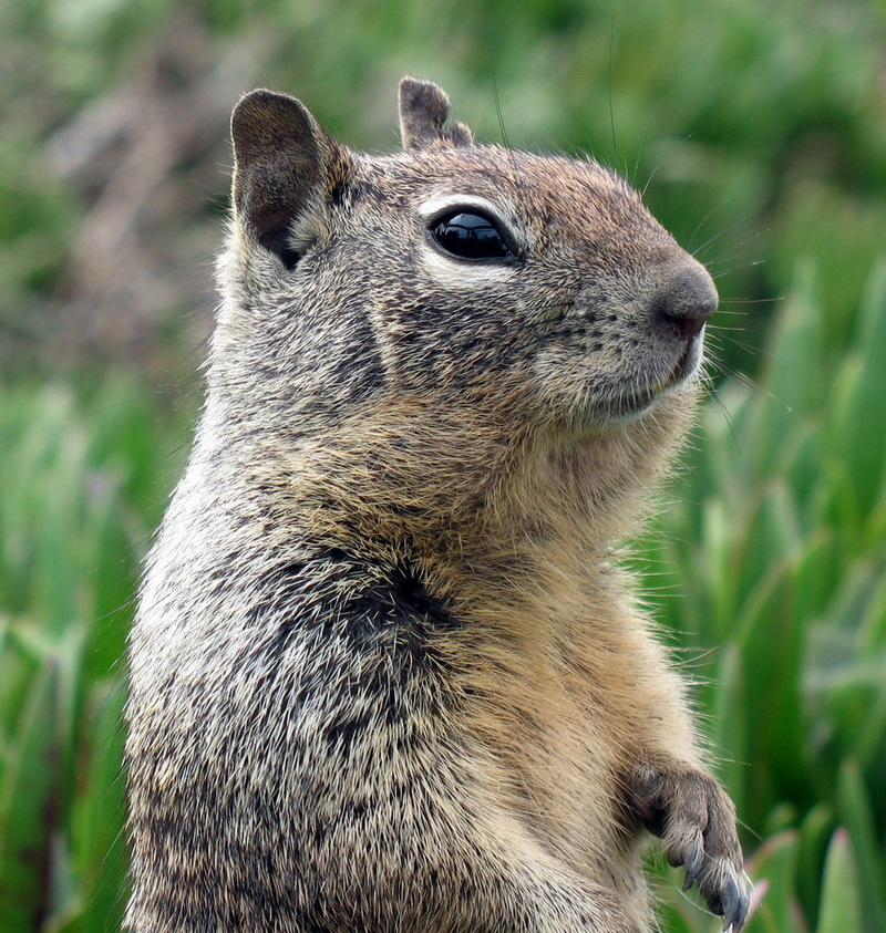 California Ground Squirrel (Spermophilus beecheyi) - Wiki; DISPLAY FULL IMAGE.