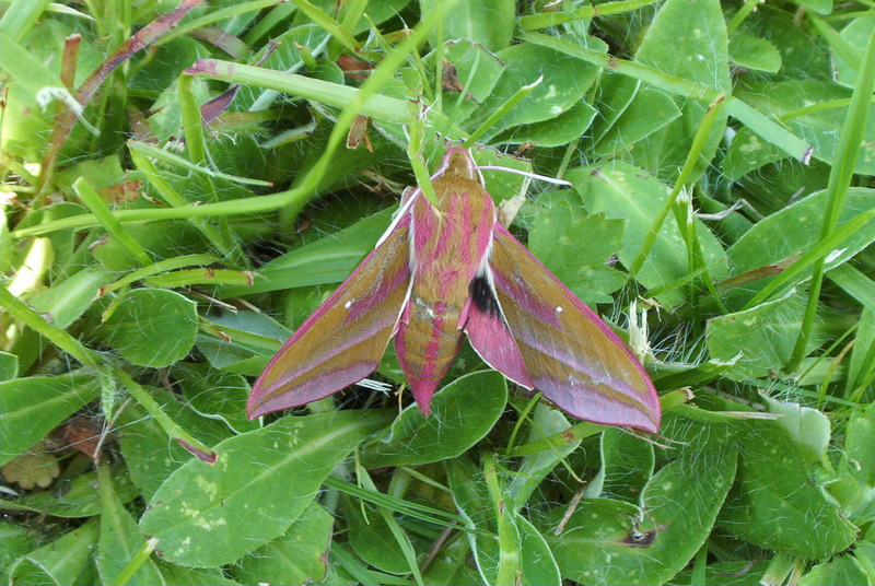 Elephant Hawk-moth (Deilephila elpenor) - Wiki; DISPLAY FULL IMAGE.