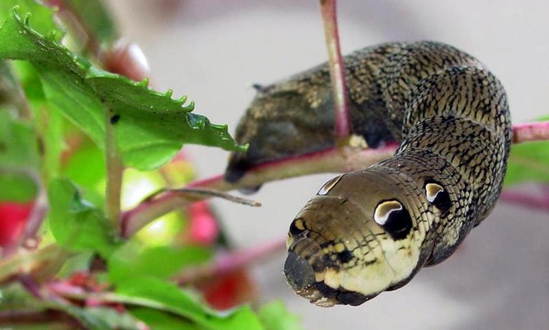 Deilephila elpenor 3-Elephant Hawk-moth (Deilephila elpenor) snake posed caterpillar.jpg