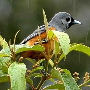 Black-faced Monarch (Monarcha melanopsis) - Wiki; Image ONLY