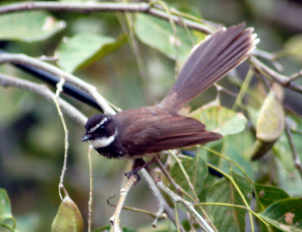 White-throated Fantail (Rhipidura albicollis) - Wiki; Image ONLY