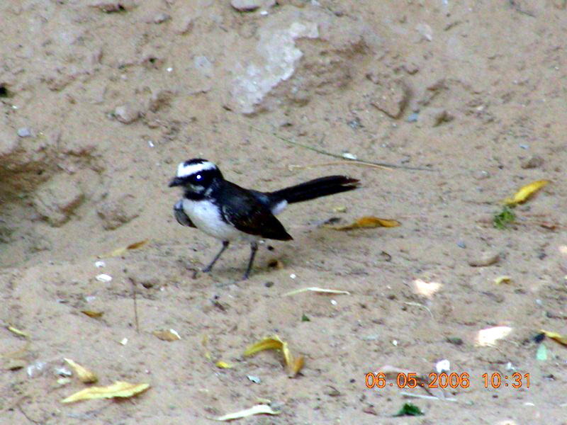 White-browed Fantail (Rhipidura aureola) - Wiki; Image ONLY