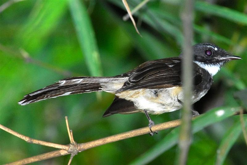 Pied Fantail (Rhipidura javanica) - Wiki; DISPLAY FULL IMAGE.