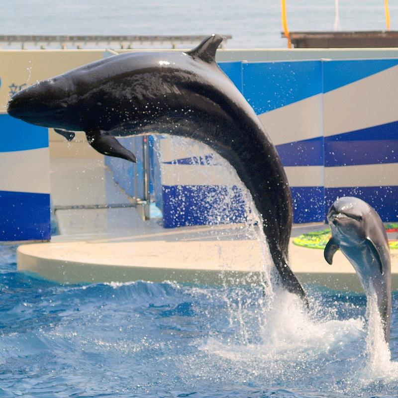 Pseudorca crassidens-false killer whale.jpg