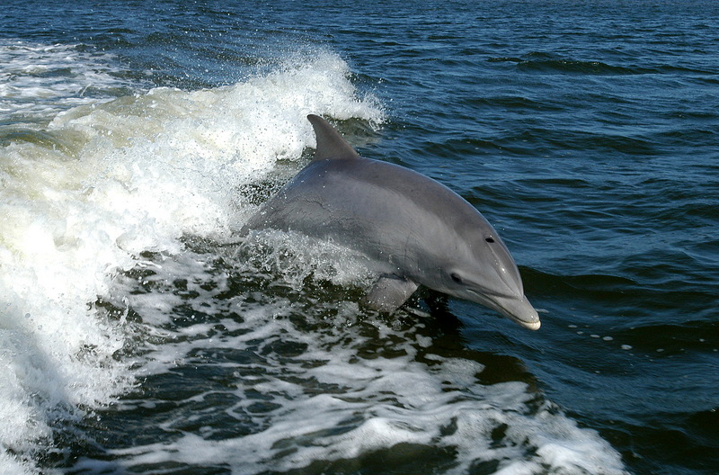Bottlenose Dolphin (Tursiops truncatus) - Wiki; DISPLAY FULL IMAGE.