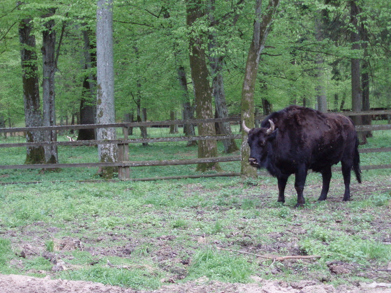 Zubron (Wisent-Cattle Hybrid) <!--주브론-->; DISPLAY FULL IMAGE.