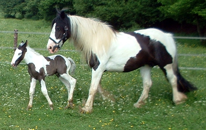 Gypsy Vanner horse - Wiki; Image ONLY