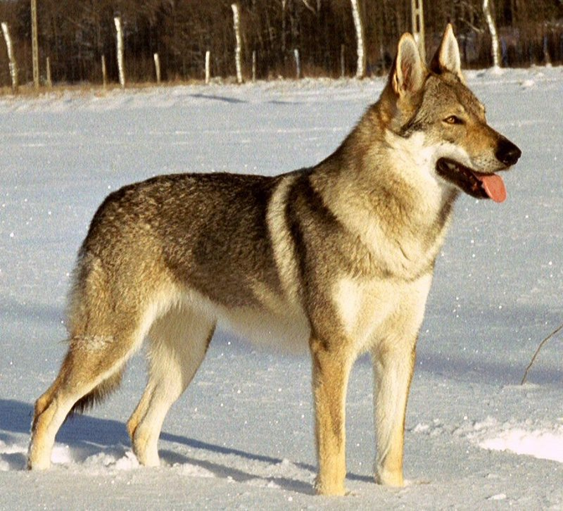 Wolf-dog hybrid (Wolfdog) - Wiki; DISPLAY FULL IMAGE.