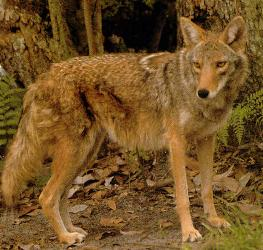 Coywolf (Coyote-Wolf Hybrid) - Wiki; Image ONLY