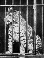 sélection premium 82f1b d4ba0 Pumapard (Puma-Leopard Hybrid) - Wiki