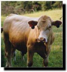 Beefalo (American Bison-Cattle Hybrid) {!--비팔로-->; Image ONLY