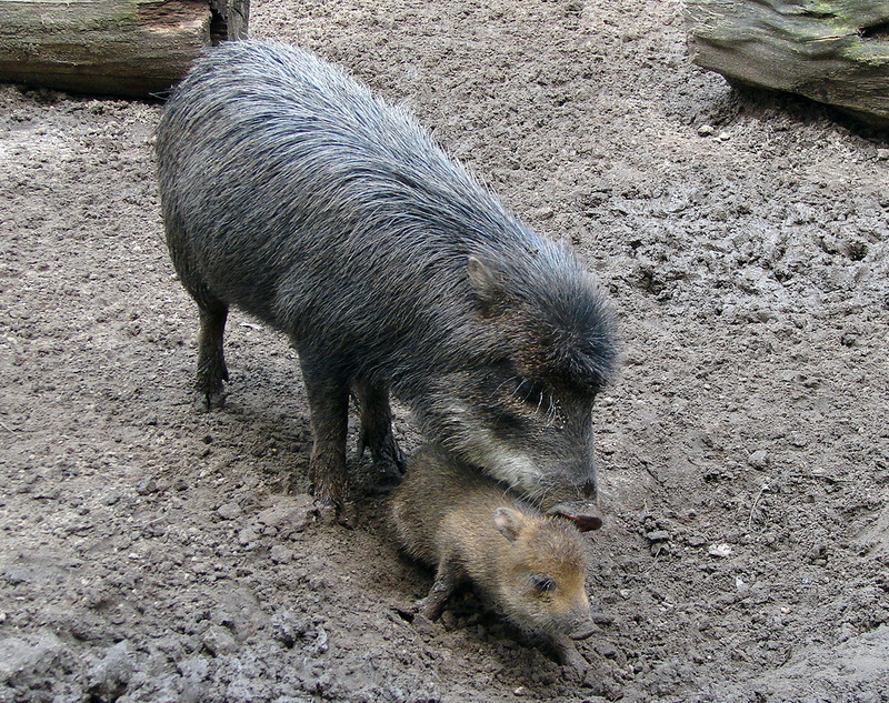 White-lipped Peccary (Tayassu pecari) - Wiki; DISPLAY FULL IMAGE.