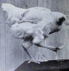 Mike The Headless Chicken.jpg