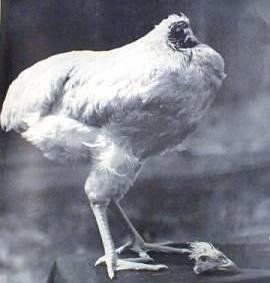 Headless Chicken (Lived Headless for 18 months); Image ONLY