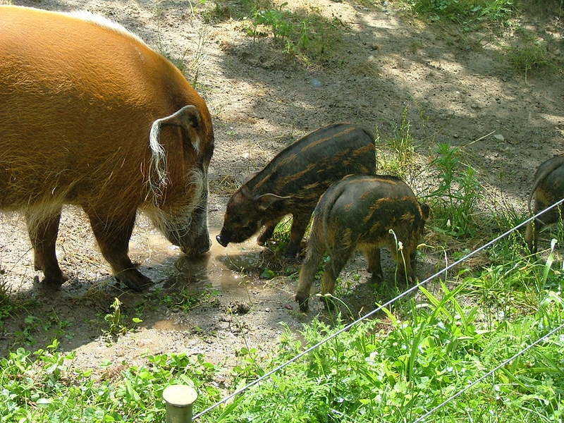 Red River Hog (Potamochoerus porcus) - Wiki; DISPLAY FULL IMAGE.