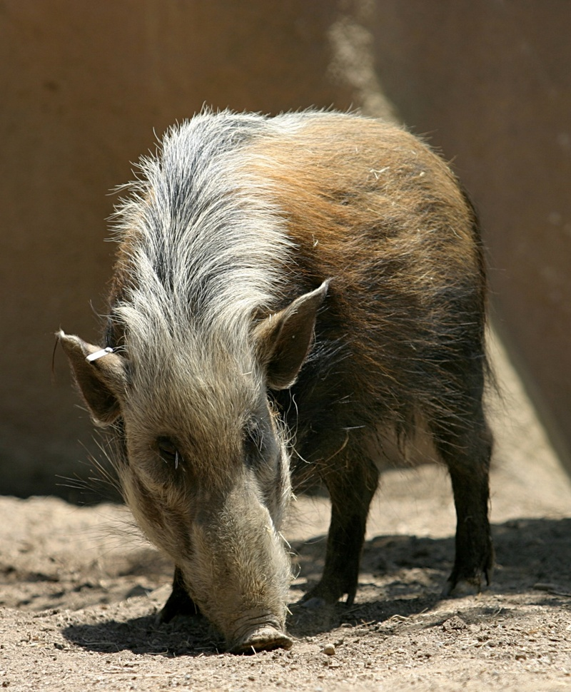 Southern Bush Pig-Potamochoerus larvatus koirpotamus.jpg