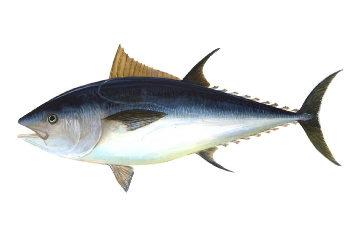 Northern Bluefin Tuna (Thunnus thynnus) - Wiki; Image ONLY