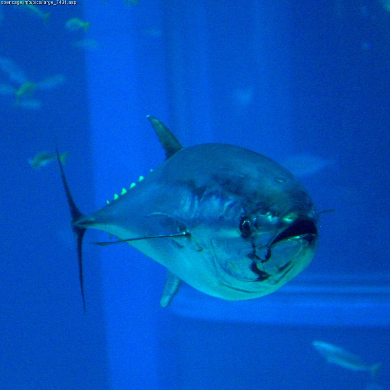 Northern Bluefin Tuna (Thunnus thynnus) at Osaka Aquarium; DISPLAY FULL IMAGE.