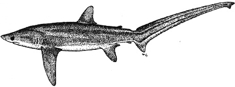 Bigeye Thresher Shark (Alopias superciliosus) - Wiki; Image ONLY