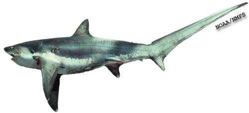 Long-tailed Thresher Shark (Alopias vulpinus) - Wiki; Image ONLY