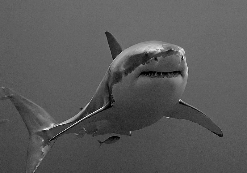 Great White Shark (Carcharodon carcharias) - Wiki; DISPLAY FULL IMAGE.