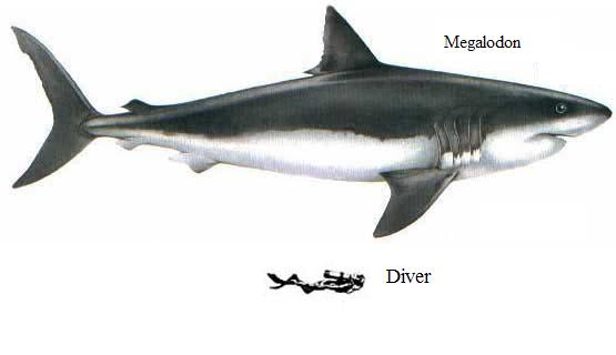 Megatooth Shark (Carcharodon megalodon) - Wiki; Image ONLY