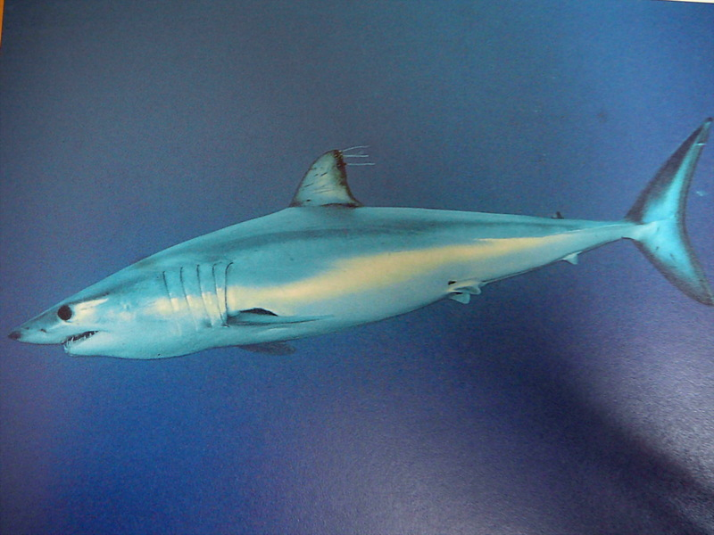 Shortfin Mako Shark (Isurus oxyrinchus) - Wiki; DISPLAY FULL IMAGE.