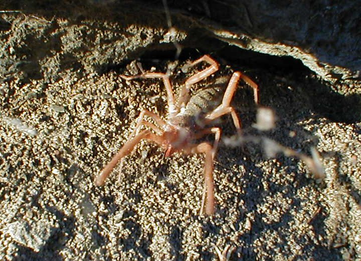 Wind Scorpion (Order: Solifugae); Image ONLY
