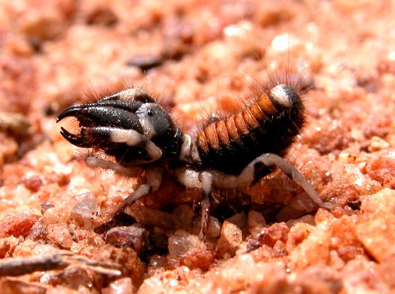 scorpion in india
