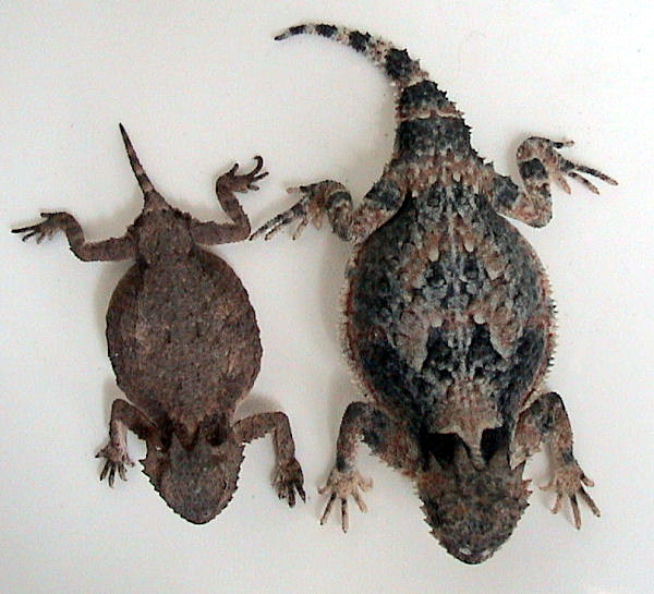 Horned Lizard (Family: Phrynosomatidae, Genus: Phrynosoma) - Wiki; Image ONLY