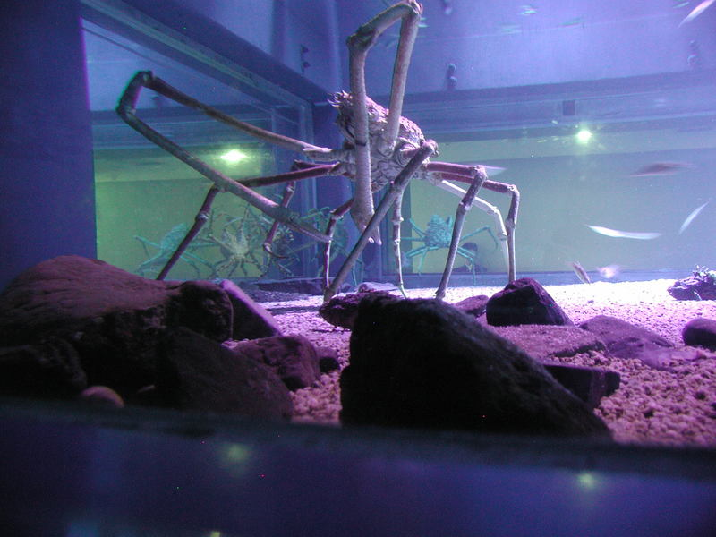 Japanese spider crab (Macrocheira kaempferi) - Wiki; DISPLAY FULL IMAGE.