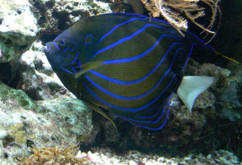 Bluering Angelfish (Pomacanthus annularis) - Wiki; Image ONLY