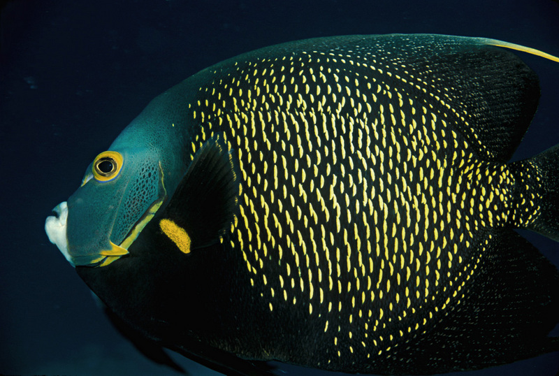 French Angelfish (Pomacanthus paru) - Wiki; DISPLAY FULL IMAGE.
