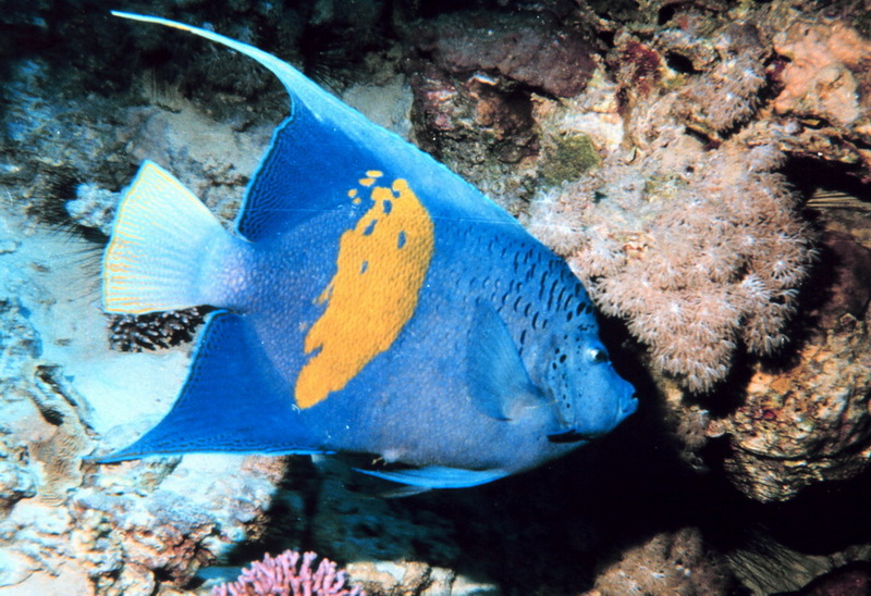 Yellowbar Angelfish (Pomacanthus maculosus); DISPLAY FULL IMAGE.