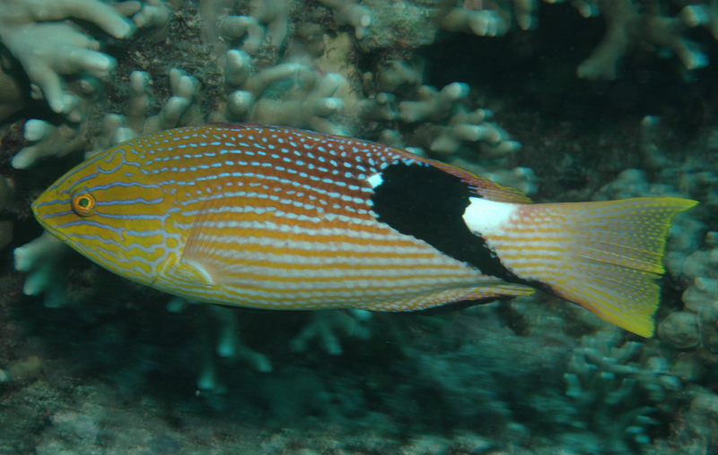 Blackfin Hogfish (Bodianus loxozonus); DISPLAY FULL IMAGE.