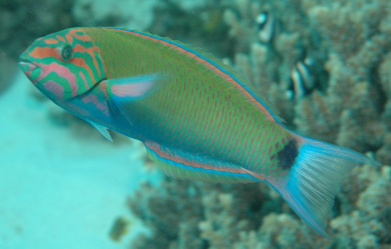 Moon Wrasse (Thalassoma lunare) - Wiki; DISPLAY FULL IMAGE.