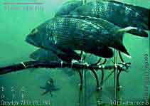 Black Sea Bass (Centropristis striata) - Wiki; Image ONLY