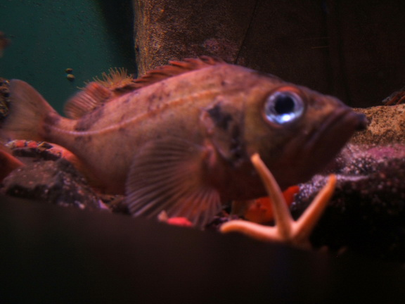 Rose Fish (Sebastes marinus) - Wiki; Image ONLY