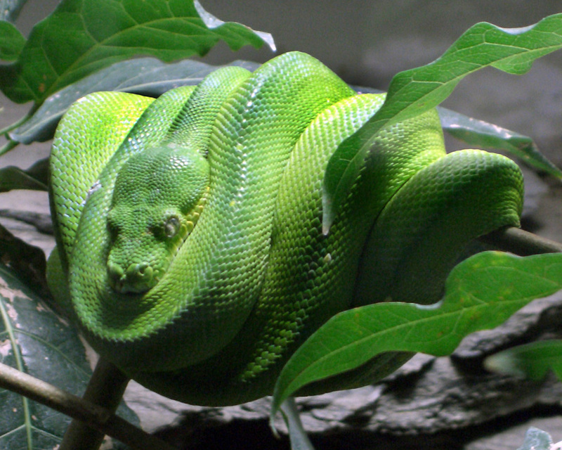 Green Tree Python (Morelia viridis) - Wiki; DISPLAY FULL IMAGE.